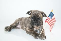 Image of bulldog with American flag in paws.