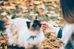 Siamese Cat being fed a treat among fall leaves